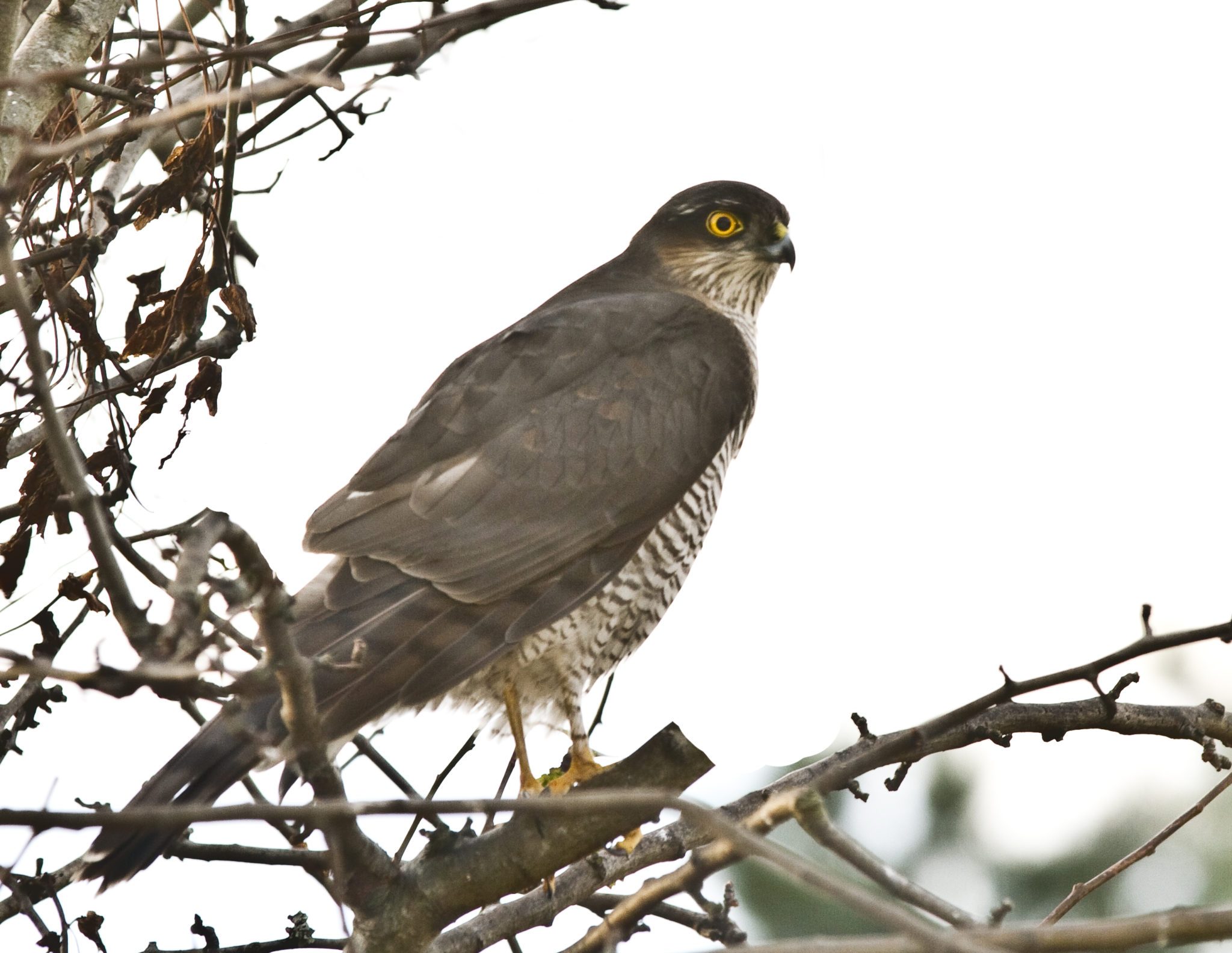 Identifying sparrowhawks part 1