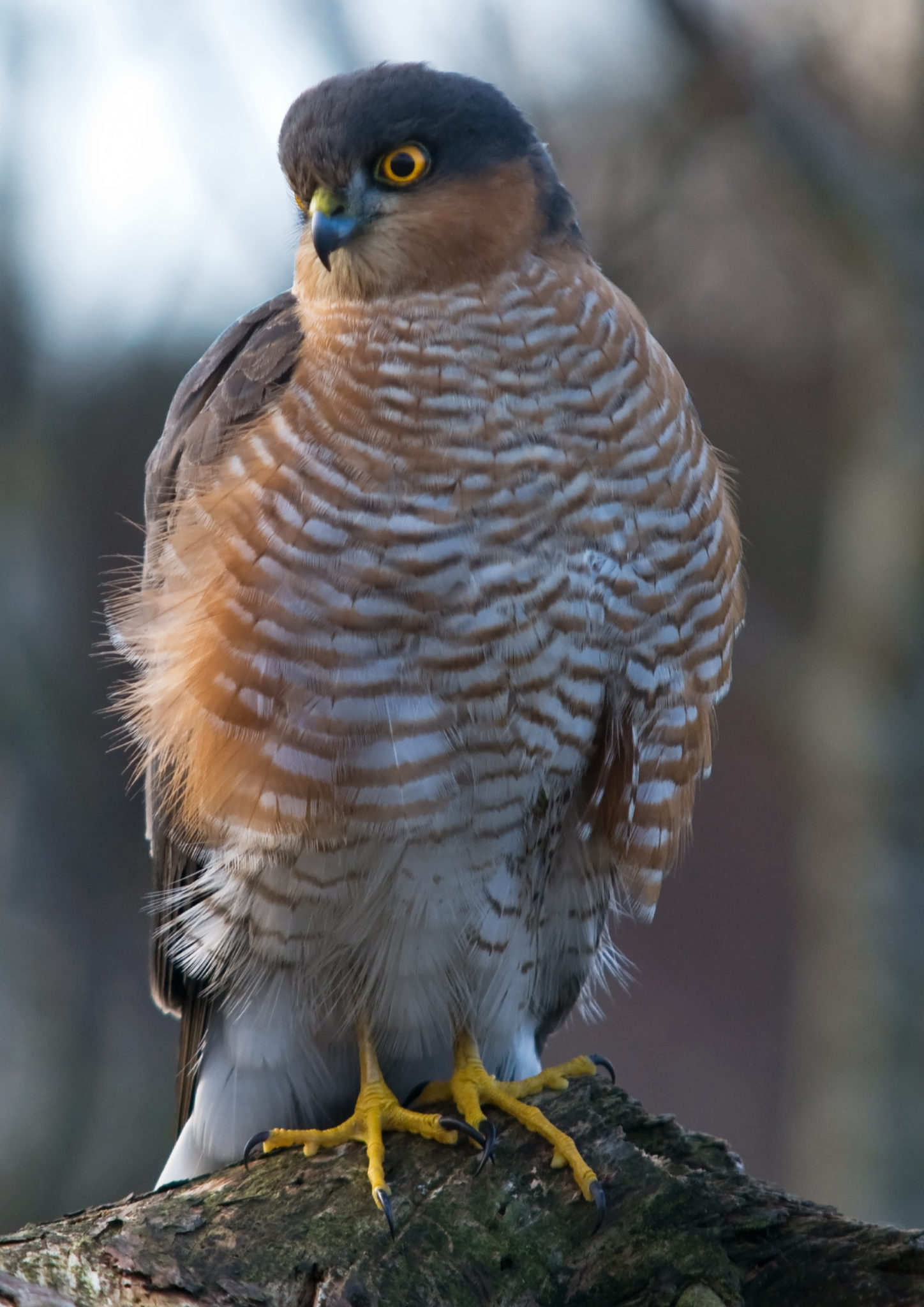 Identifying sparrowhawks part 2