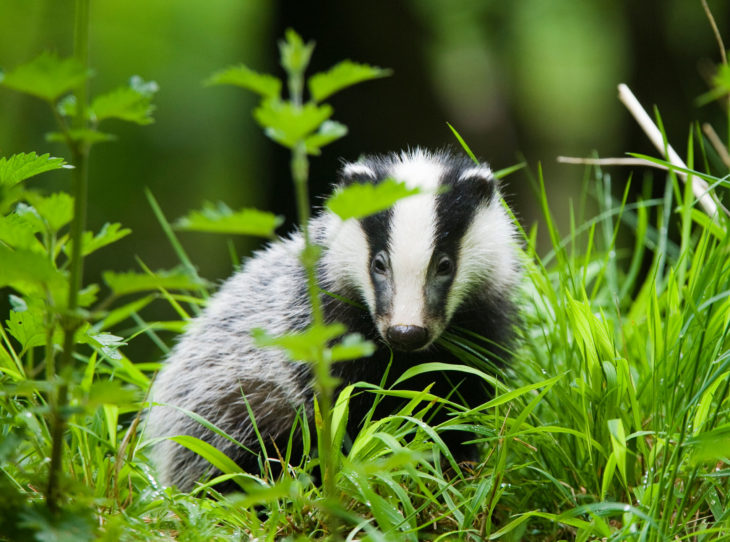 Badger © Elliott Neep