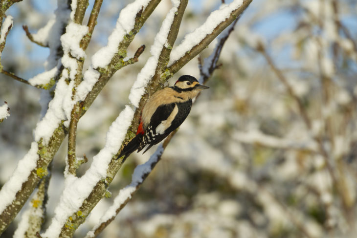 Great spotted woodpecker © Mark Hamblin