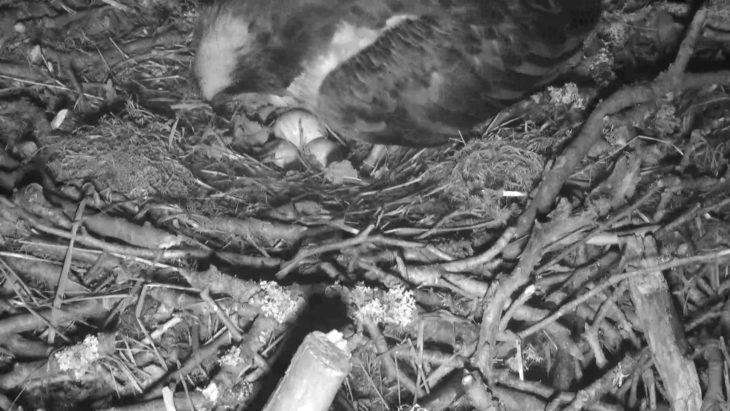 LF15 with her three eggs on Thursday night.