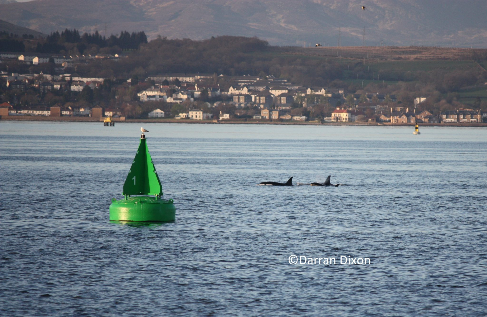 Two female Orca and a juvenile surface on the Clyde