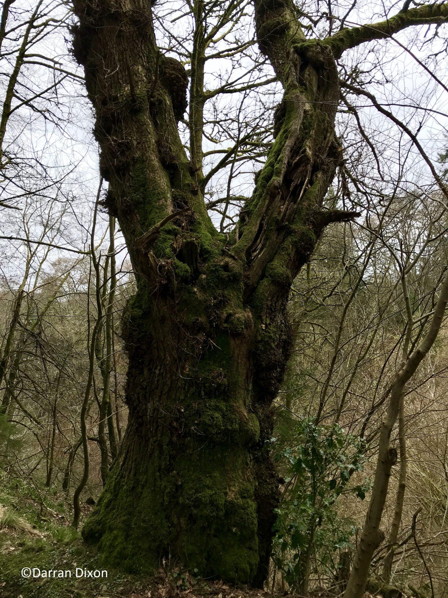 Oak tree at Falls of Clyde
