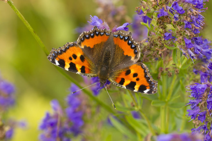 Small tortoiseshell © Mark Hamblin/2020VISION