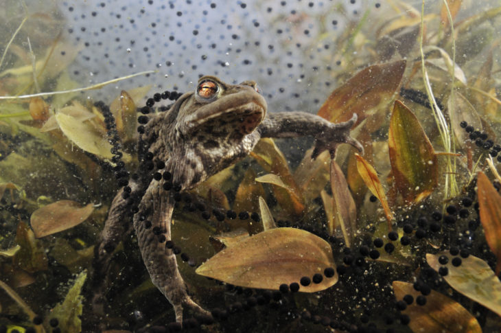 Toad with toadspawn and frogspawn in the background © Linda Pitkin2020VISION