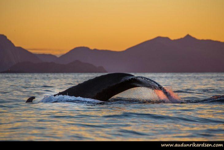 Humpback whale © Audun Rickardsen