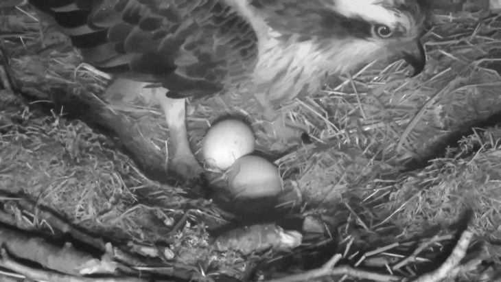 Two osprey eggs in a nest