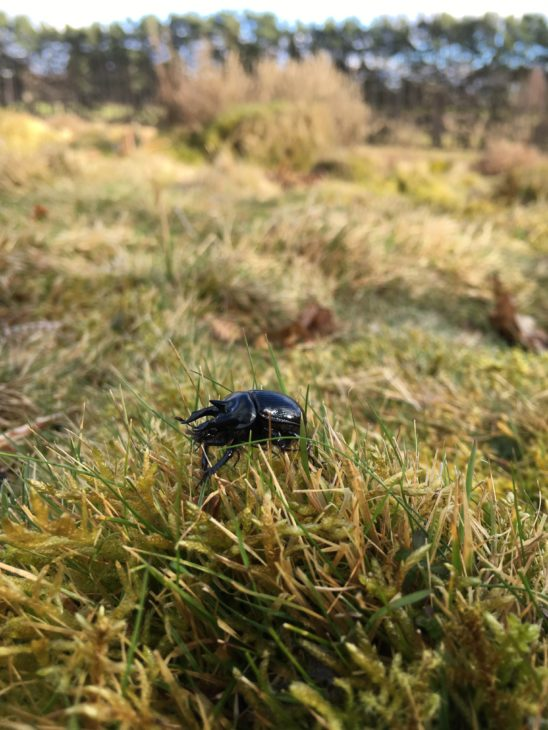 Minotaur beetle © Jonathan Groom