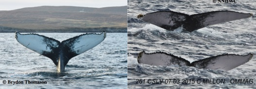 Humpback image comparison © Brydon Thomason /