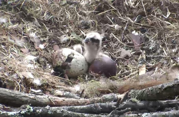 The second chick emerges from its egg at Loch of the Lowes