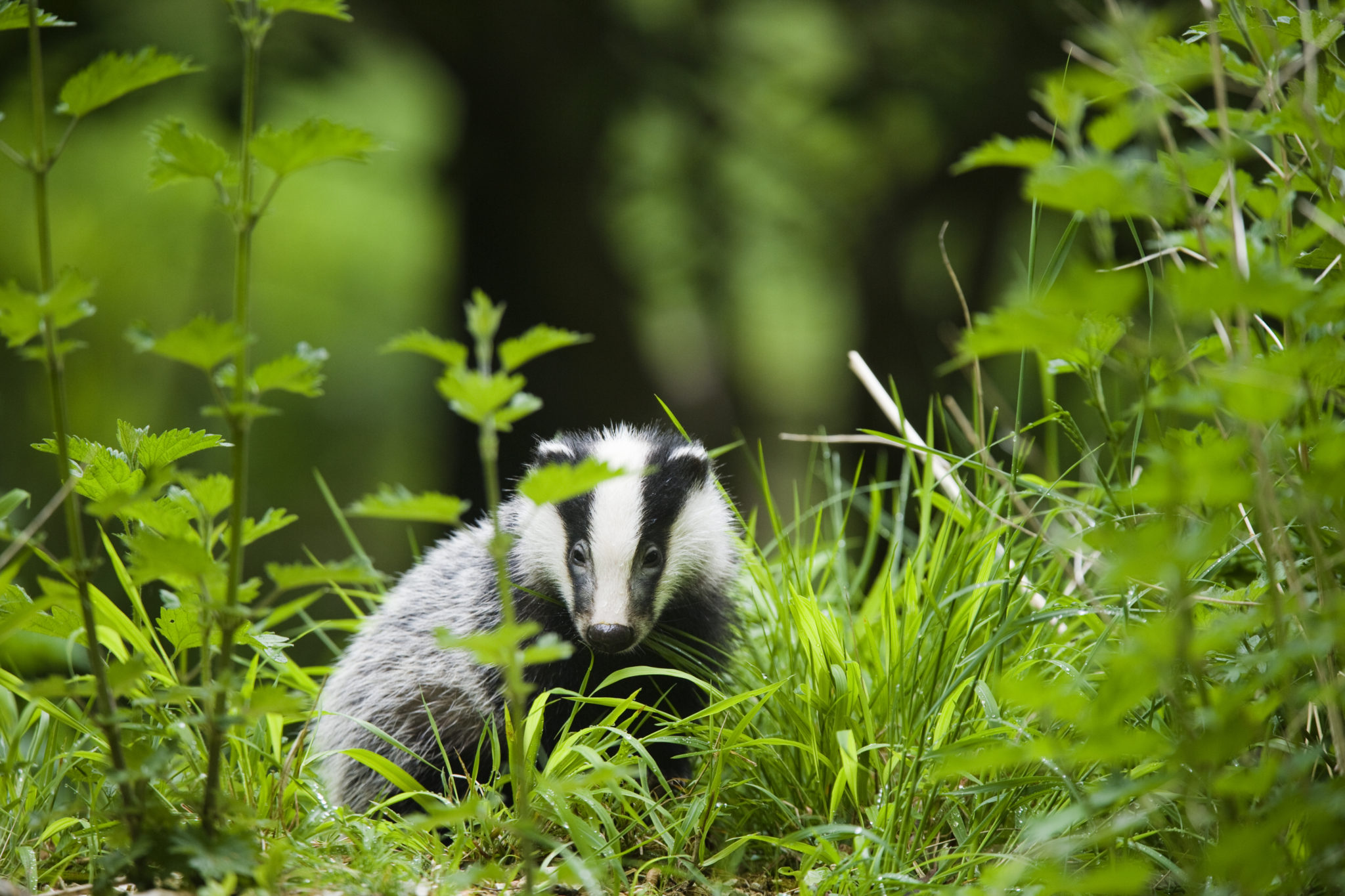 European badger (Meles meles), young cub foraging in undergrowth, England, UK ©Elliott Neap