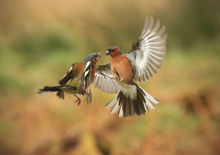 Fighting chaffinches © Jon Hawkins - Surrey Hills Photography
