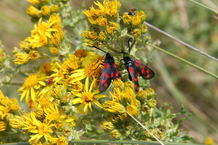 Burnet moths at Coul Links © Susan Davies