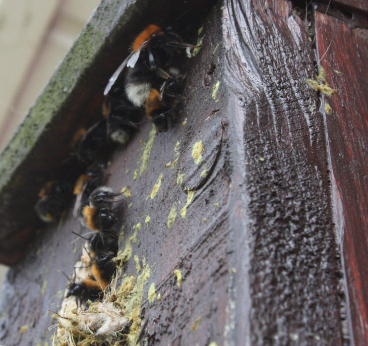 Tree bumblebee nest © Alan Wright