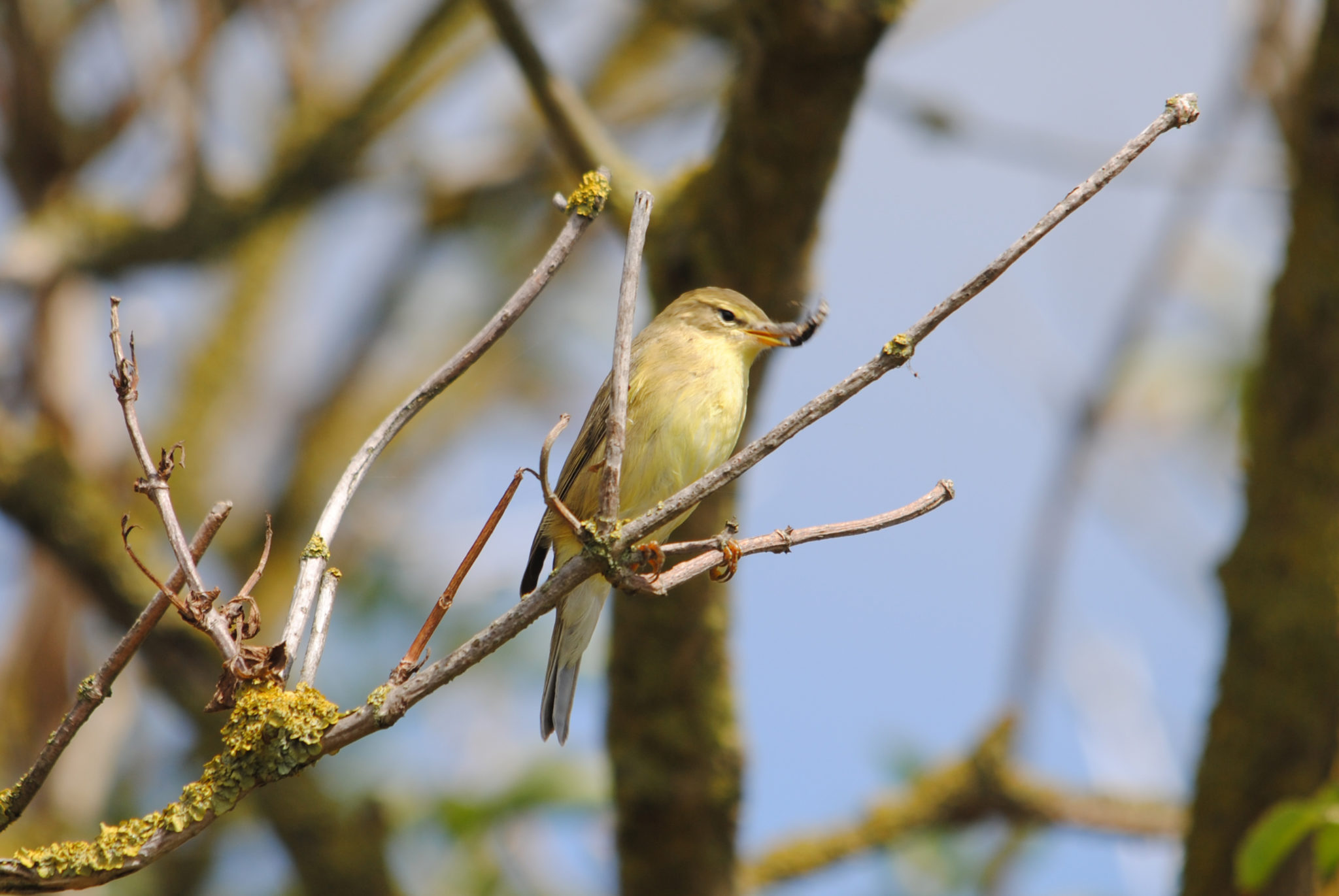 Willow Warbler ©Amy Lewis