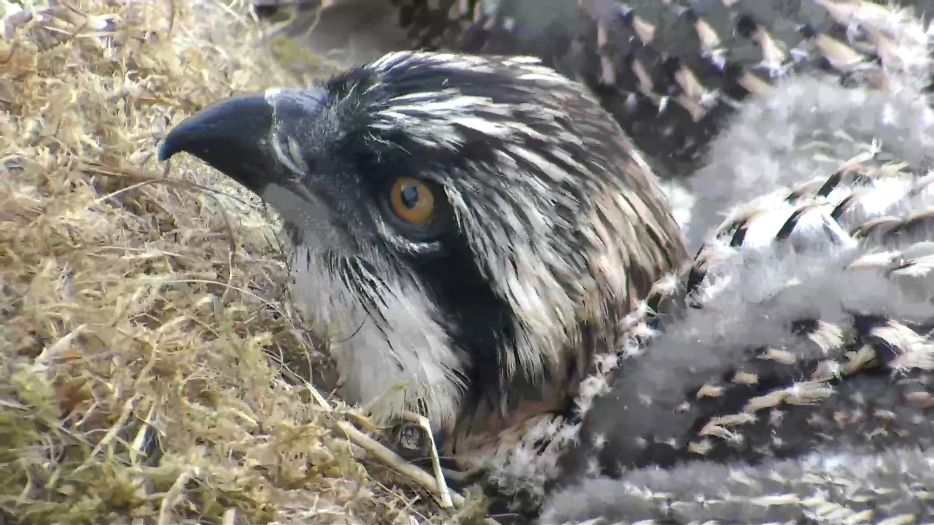Osprey update – feathers and fish