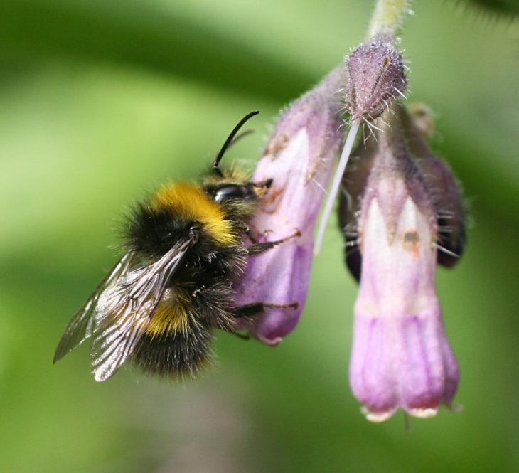 Early bumblebee nectar robbing comfrey © Penny Frith