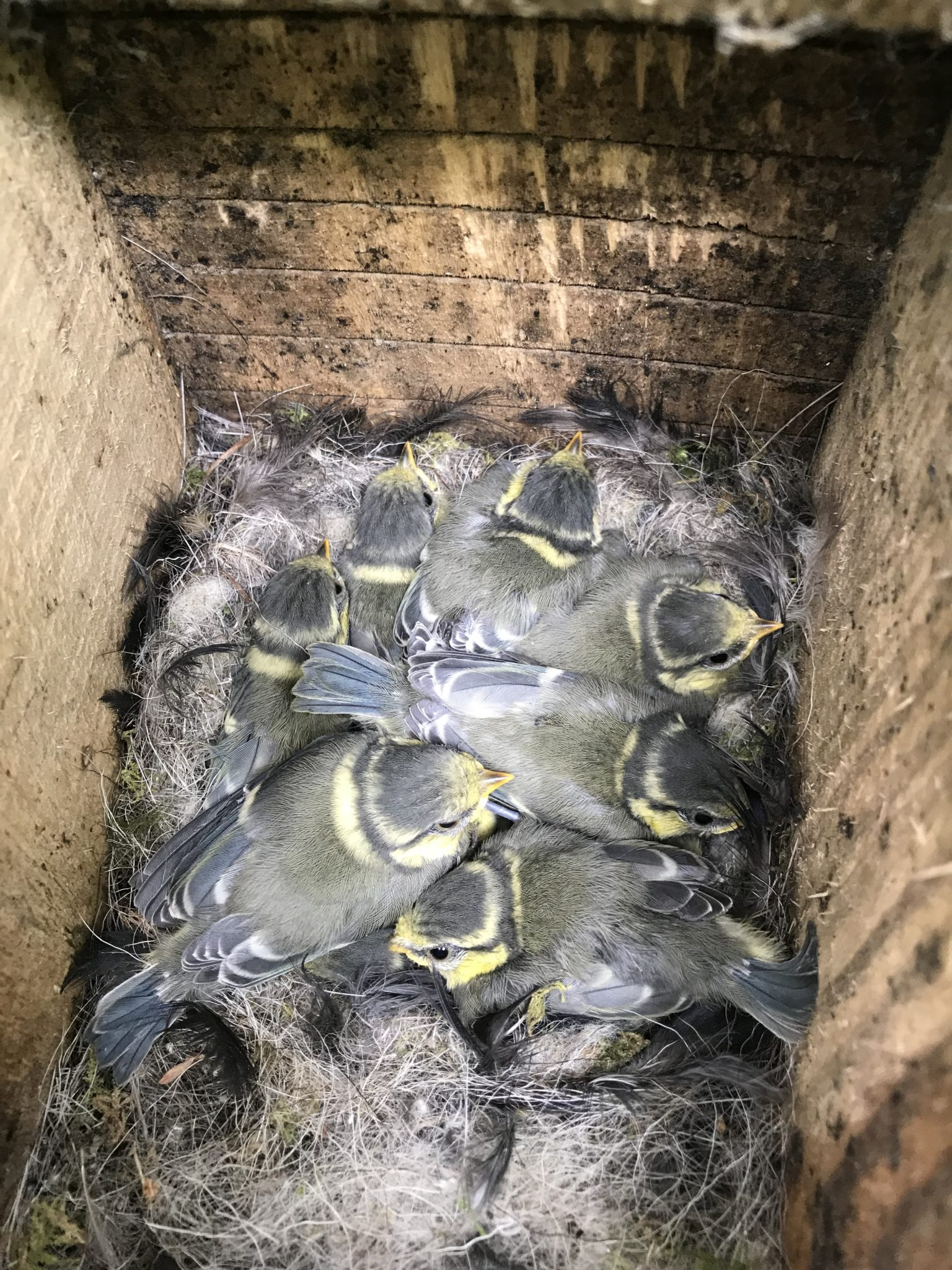 Juvenile Blue Tits almost ready to leave the nest