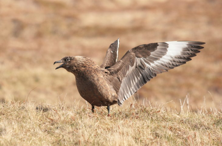 Great skua on Handa Island