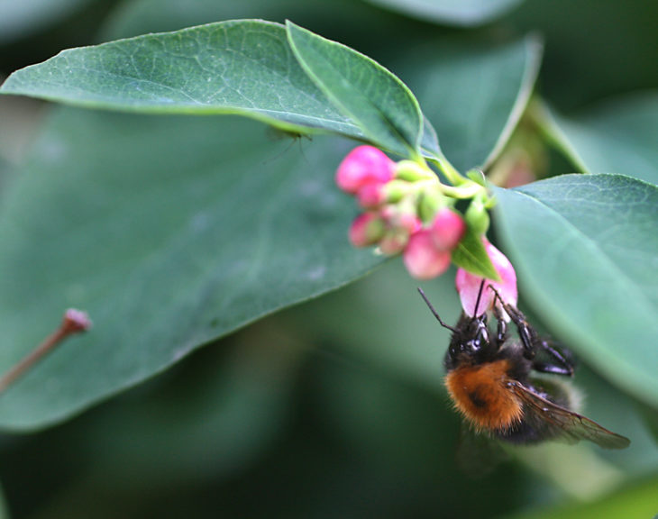 Tree bumblebee (c) Penny Frith