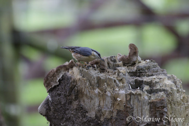 Is climate change altering the range of the nuthatch?
