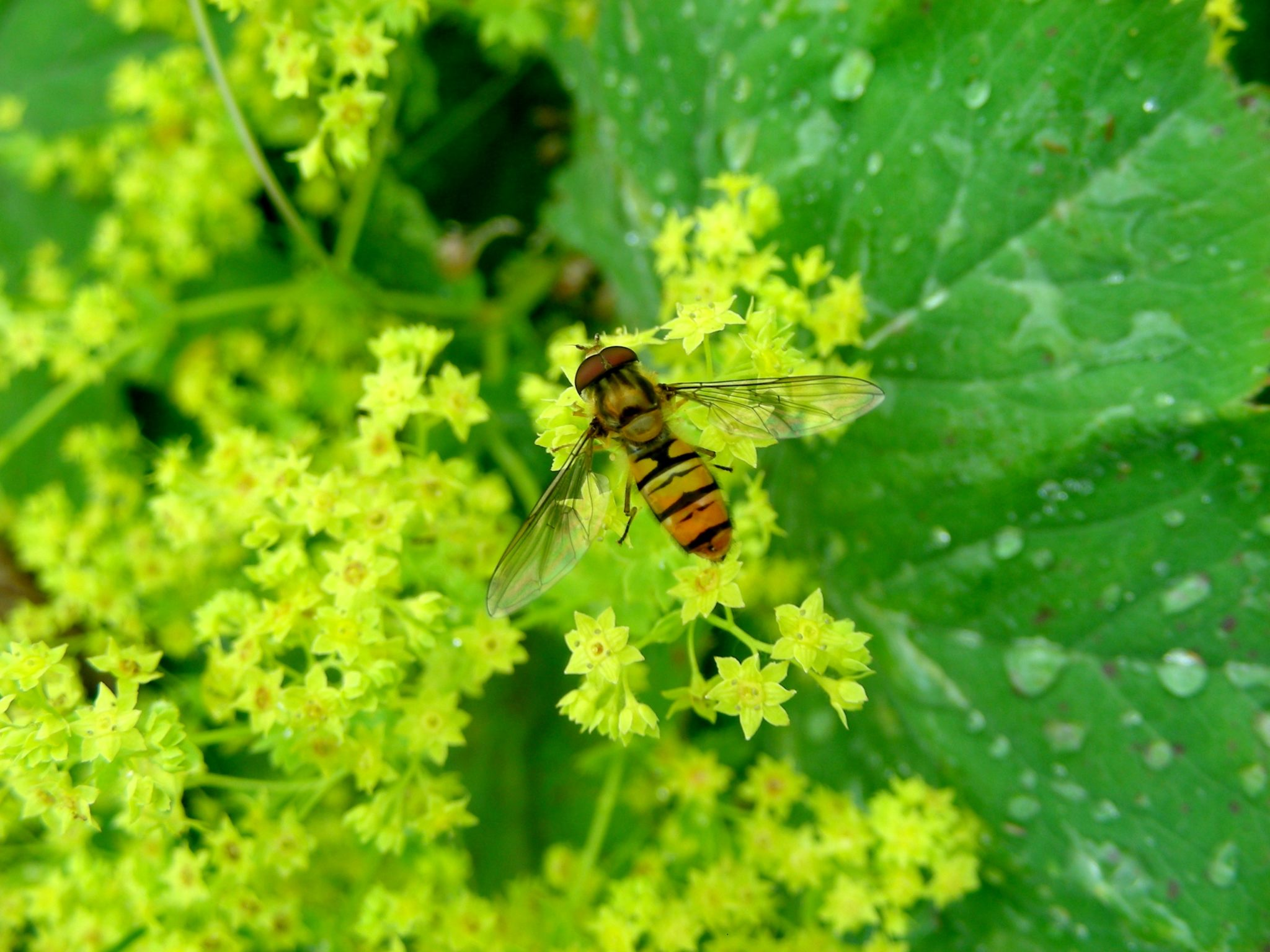 Hoverfly Population Boom