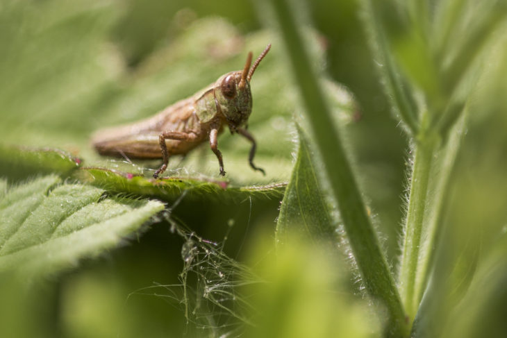 Meadow grasshopper at Jupiter © Lewis Wetton