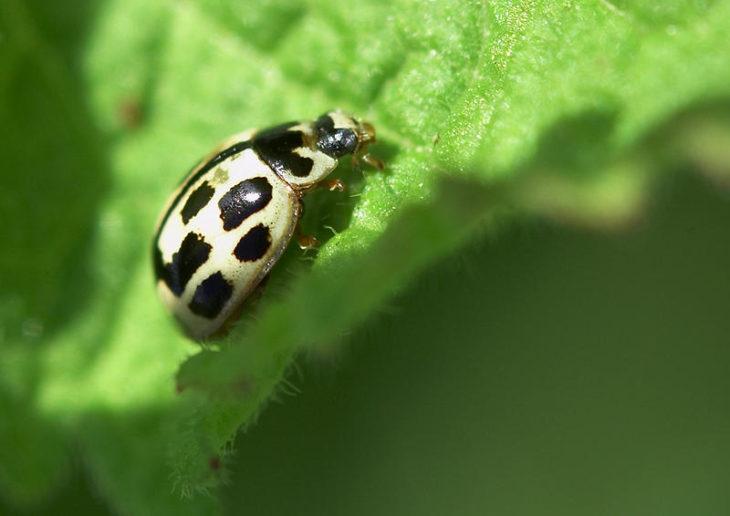 14-spot ladybird © John Bridges