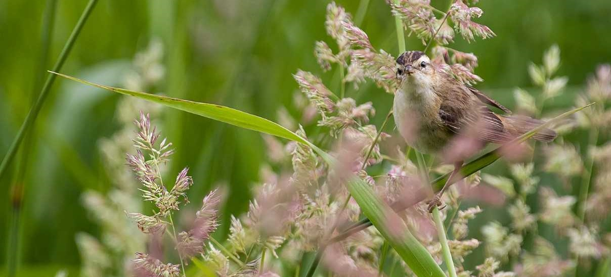 Hidden in the reeds – the dramatic life of the tiny Sedge Warbler!