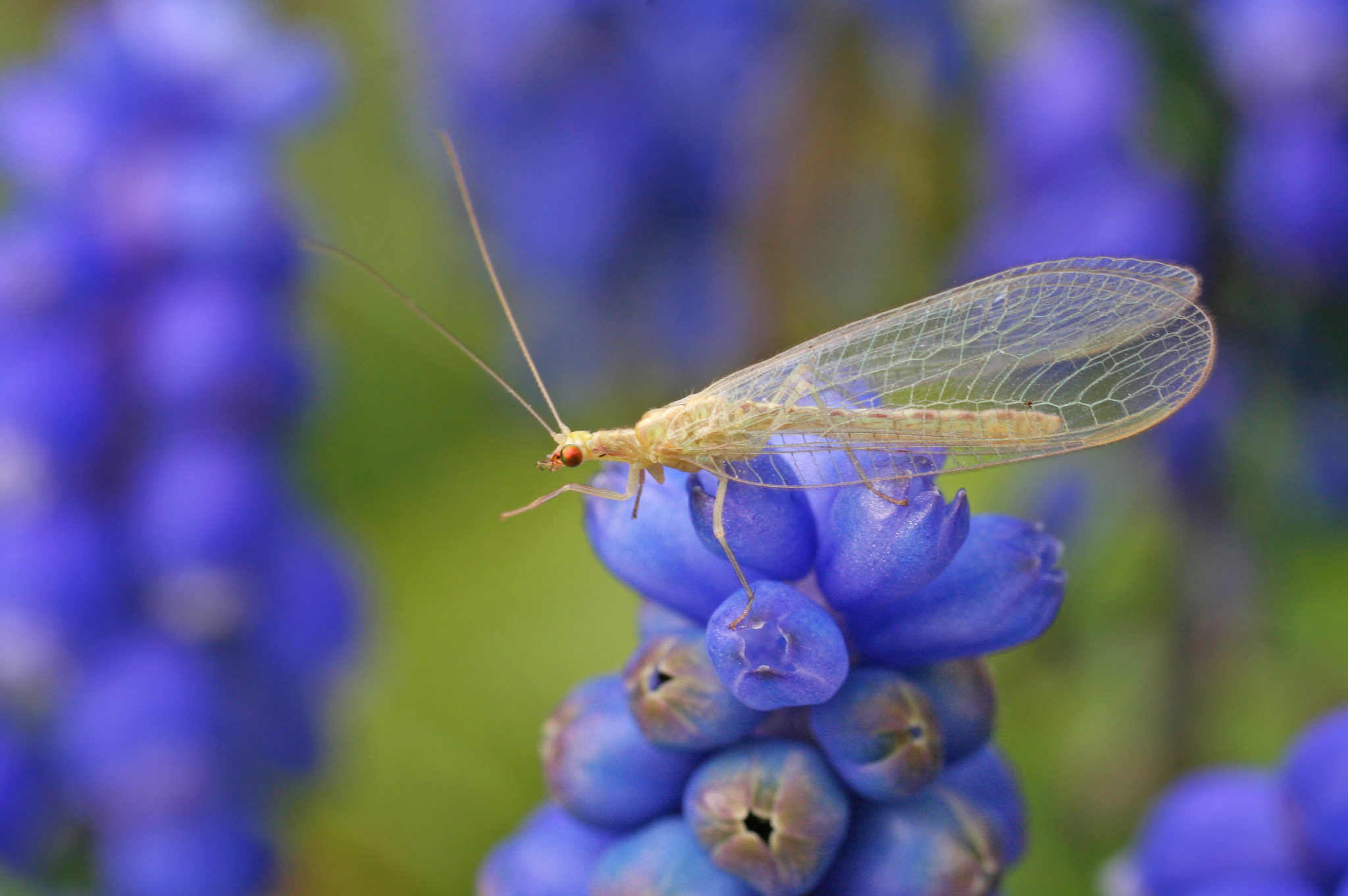 Mysterious Lacewings