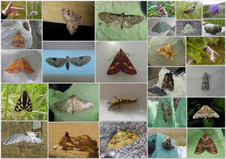 Selection of moths found on Handa Island © Craig Nisbet