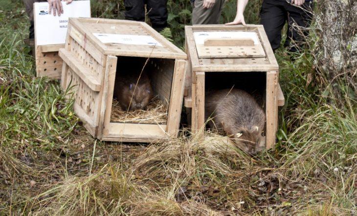 Beaver release © Steve Gardner, Scottish Beavers