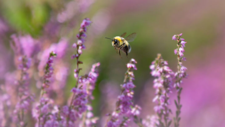 Bumblebee © Jon Hawkins, Surrey Hills Photography