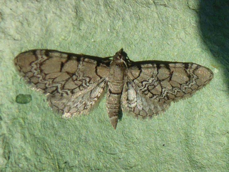 Netted pug moth found on Handa Island © Craig Nisbet