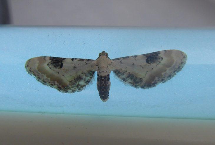 Lime-speck pug moth found on Handa Island © Craig Nisbet