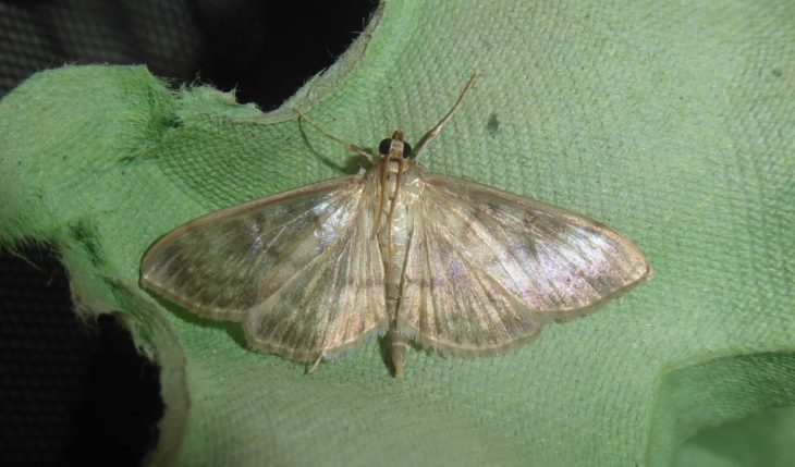 Mother of Pearl moth found on Handa Island © Craig Nisbet