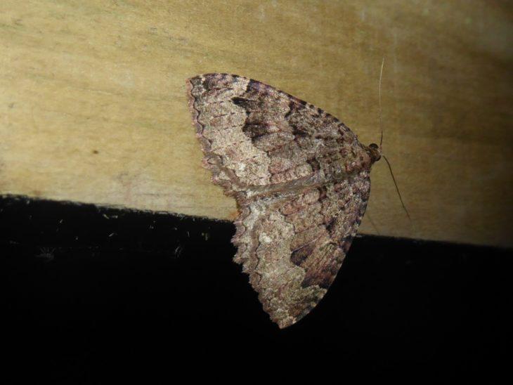 Tissue moth found on Handa Island