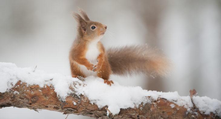 Red squirrel (Sciurus vulgaris) on pine branch in snow © Mark Hamblin, 2020VISION