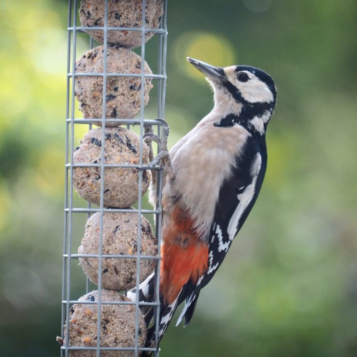 Great spotted woodpecker on fat ball feeder © Pete Haskell