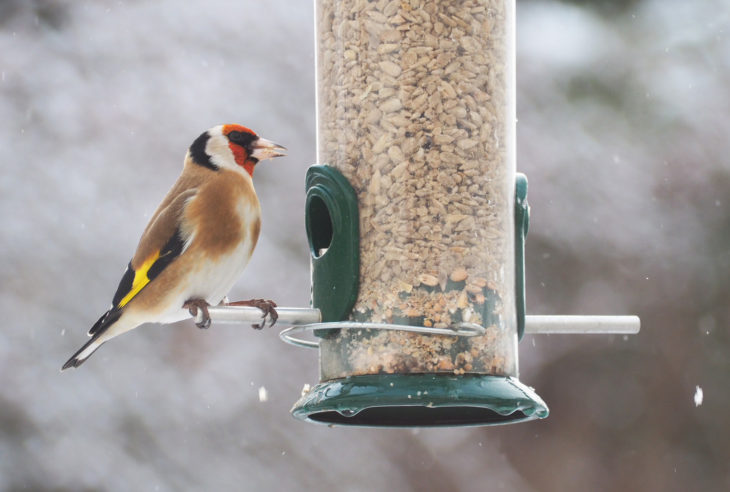 Goldfinch on bird feeder
