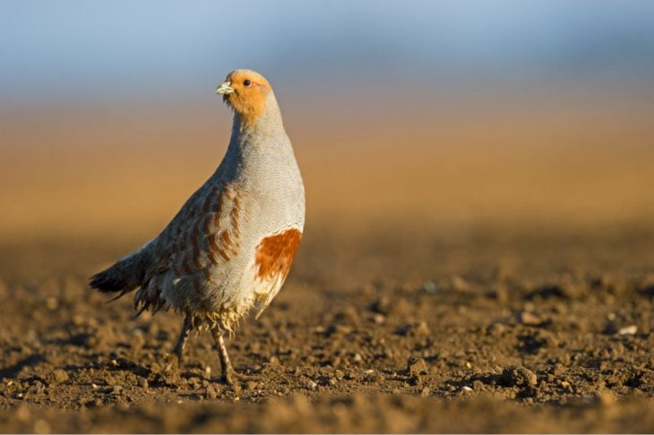Grey partridge © David Tipling/2020VISION
