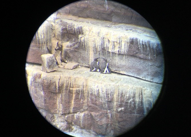 Two guillemot parents with their chicks seen through a telescope. ©Erika Faggiani