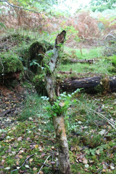 New growth of rowan following beaver activity at Loch Coille Bharr, this will become shrub-like in years to come. © Ben Harrower, Scottish Beavers