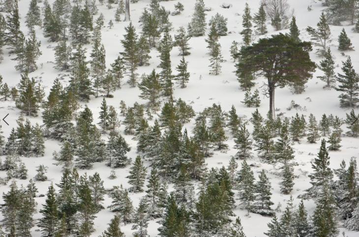 Scots pine © Mark Hamblin/2020 VISION