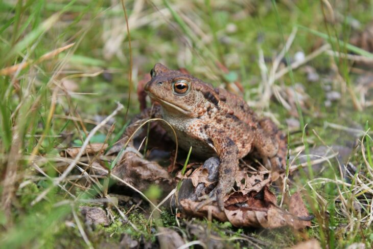 Common toad on the edge of Lily loch. © Ben Harrower, Scottish Beavers