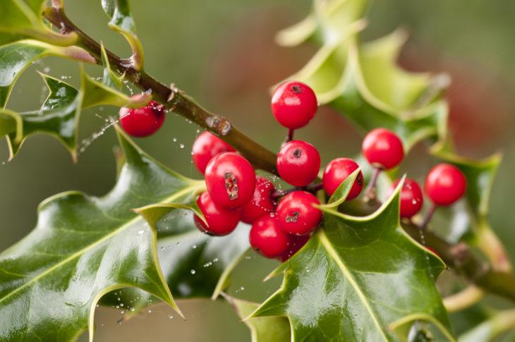 Holly berries © Ross Hoddinott/2020VISION