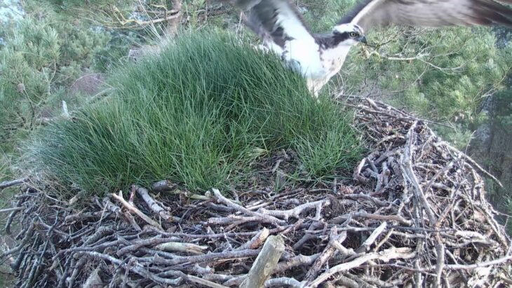 The moment LM12 arrived on the nest © Scottish Wildlife Trust