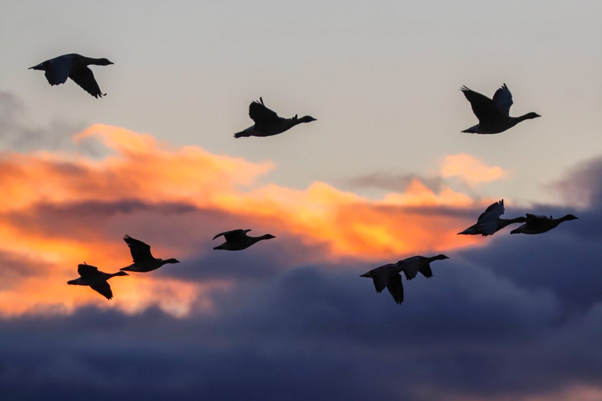 Why do we call them 'skeins' of geese?