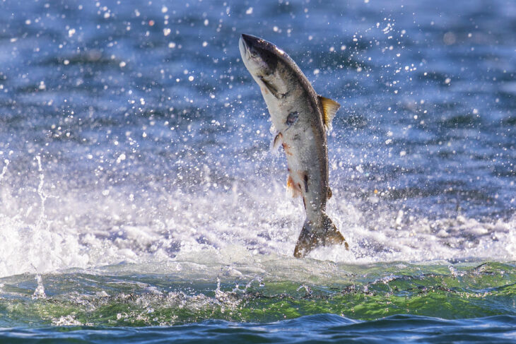 Salmon © Charlie Phillips