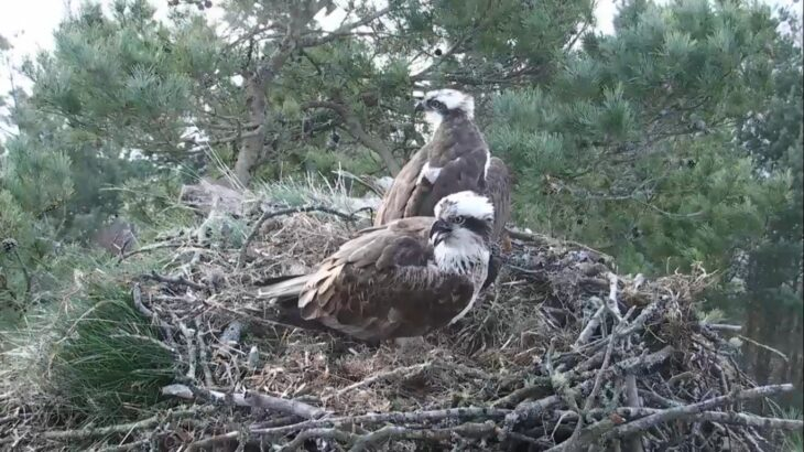 LF15 and LM12 in the nest at Loch of the Lowes © Scottish Wildlife Trust
